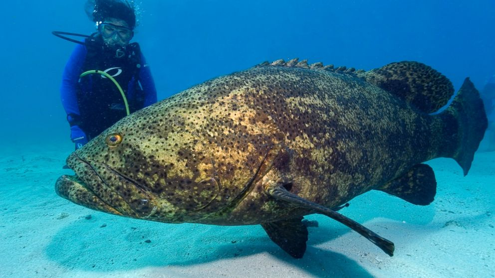 Goliath Grouper Eats Shark observes a Goliath grouper