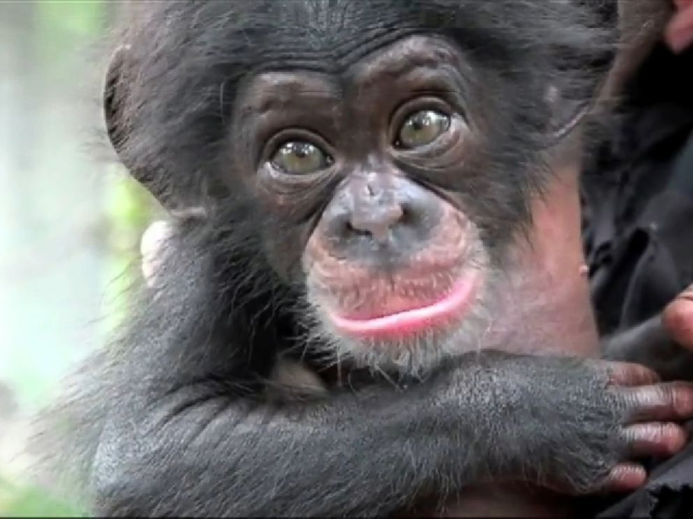 Baby Chimp Keeva Gets New Surrogate Mother After ...