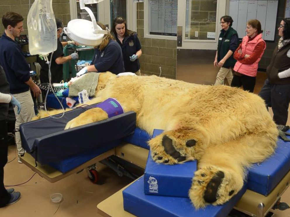 PHOTO: Point Defiance Zoo & Aquarium posted this photo to their Facebook showing Boris, the 29-year-old polar bear undergoing dental surgery.