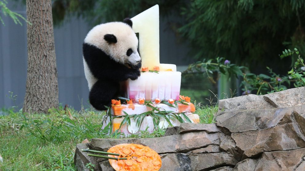 Bao Bao The Panda Celebrates Her First Birthday Abc News