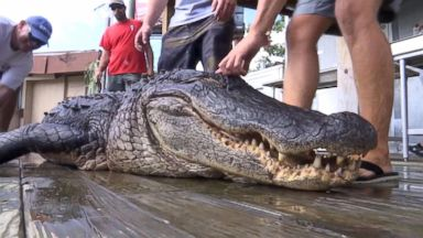 Man who caught 750-pound gator: 'We needed a bigger boat'
