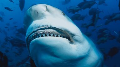Sharks are changing where they swim, breed and hunt along American coasts, say experts