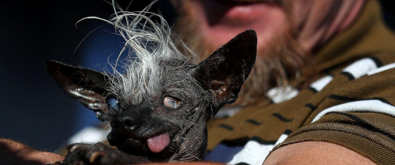 The World S Ugliest Dog Is Crowned Meet Sweepee Rambo