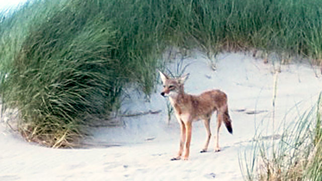 Three Rare Coyote Attacks in 10 Days Spark Worries - ABC News