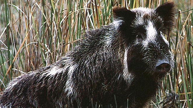 Wild Pigs Target of Federal Government Plan for ...