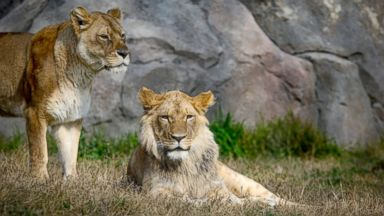 Lion bites late-night zoo intruder trying to breach enclosure over 19-foot fence