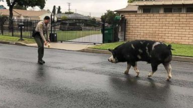 Deputies lure escaped 'mini horse'-sized pig back home with a bag of chips