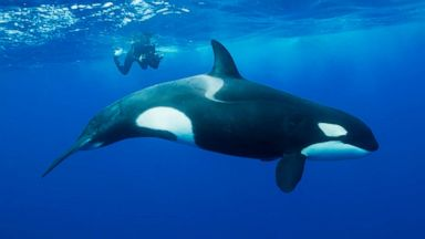 Over half of killer whale populations in the world are threatened by toxic man-made chemicals: Study