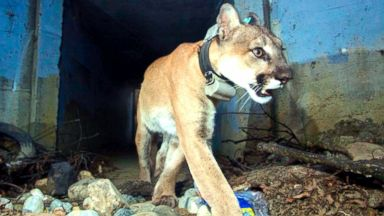 Mountain lion famous for crossing LA freeways found dead after Woolsey Fire