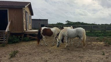 Wild horses of the Outer Banks unharmed after Hurricane Florence