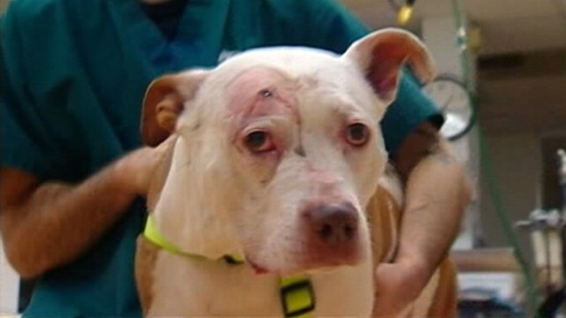 N Y Hero Dog Takes A Bullet For Owner Video Abc News