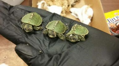 4 men plead guilty to helping smuggle turtles in candy wrappers