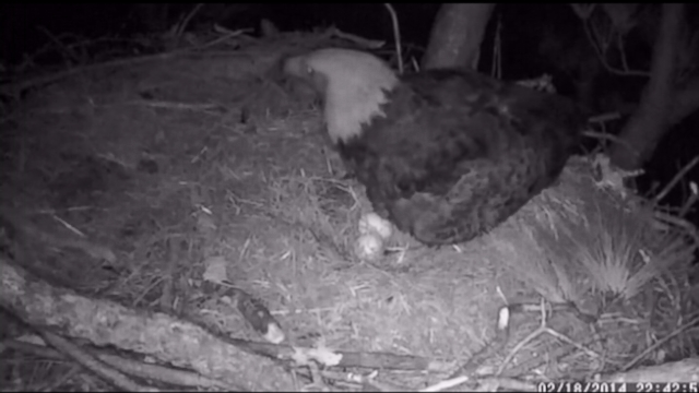 Owl Attacks Bald Eagle Protecting Her Nest Video - ABC News