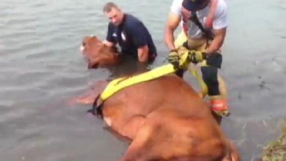 Police Come To The Aid Of A Bull Video Abc News