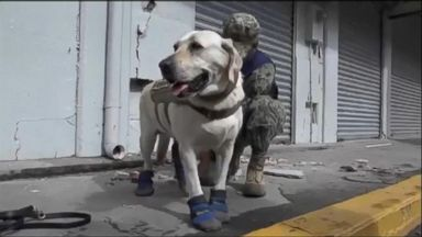 4-legged hero among the first responders in Mexico City